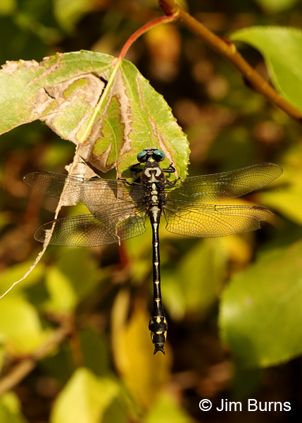 Olive Clubtail male dorsal view, Clark Co., WA, August 2015