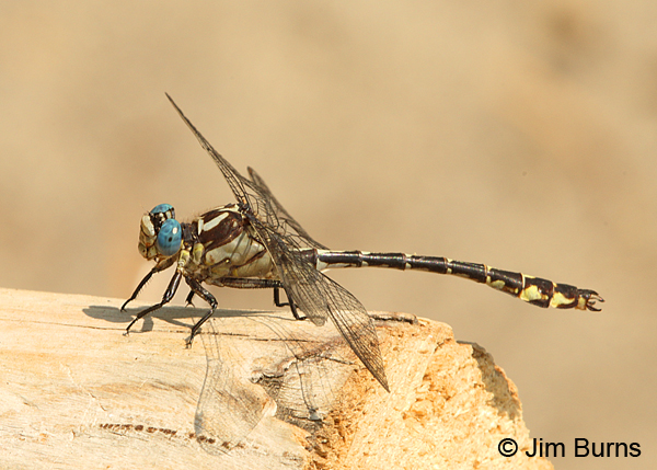 Olive Clubtail male on log, Clark Co., WA, August 2015