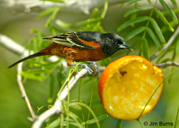 Orchard Oriole at orange