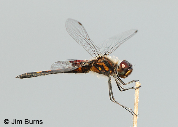 Ornate Pennant male, Chesterfield Co., SC, May 2014