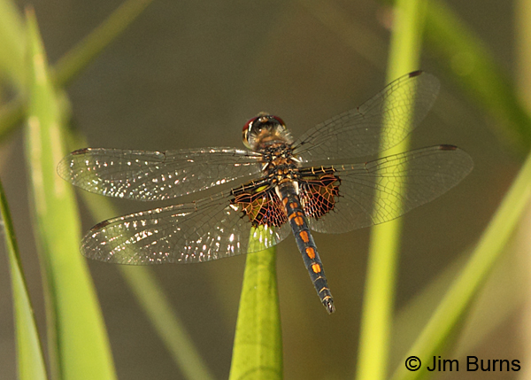 Ornate Pennant male dorsal view, Chesterfield Co., SC, May 2014
