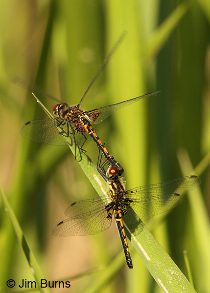 Ornate Pennant pair in tandem, Horry Co., SC, May 2014