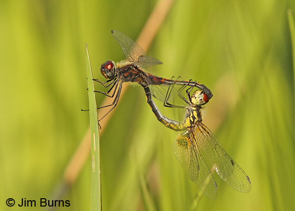 Ornate Pennant pair in wheel, Horry Co., SC, May 2014