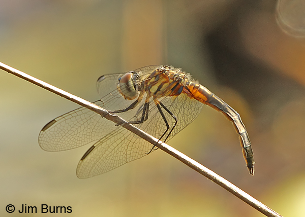 Ornate Pennant teneral male, Chesterfield Co., SC, May 2014