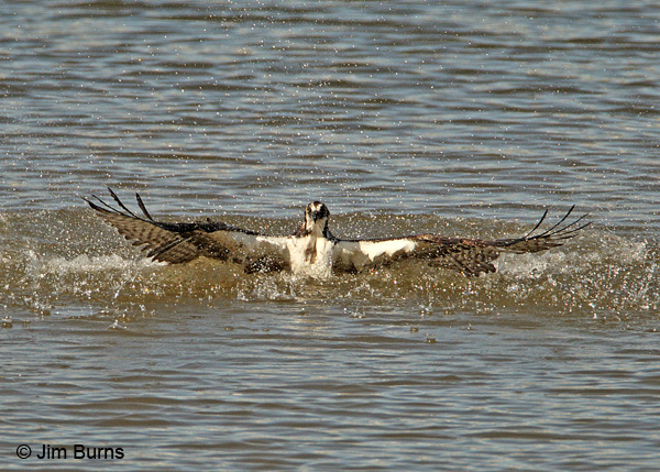 Osprey in water