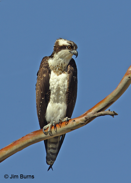 Osprey perched