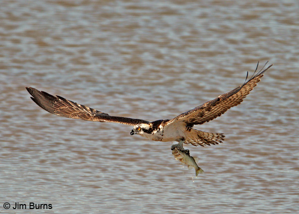 Osprey with fish #2