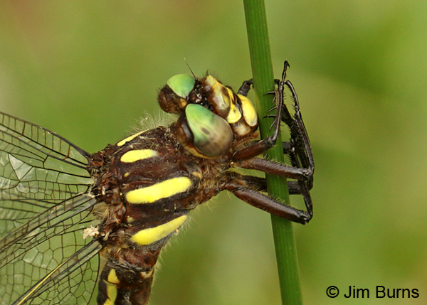 Ouachita Spiketail female face and thorax shot, Montgomery Co., AR, May 2015
