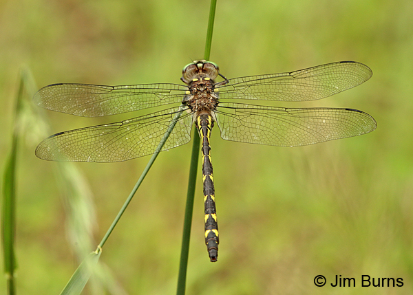 Ouachita Spiketail male dorsal view, Montgomery Co., AR, May 2015