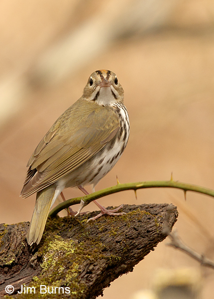 Ovenbird on log in thorns