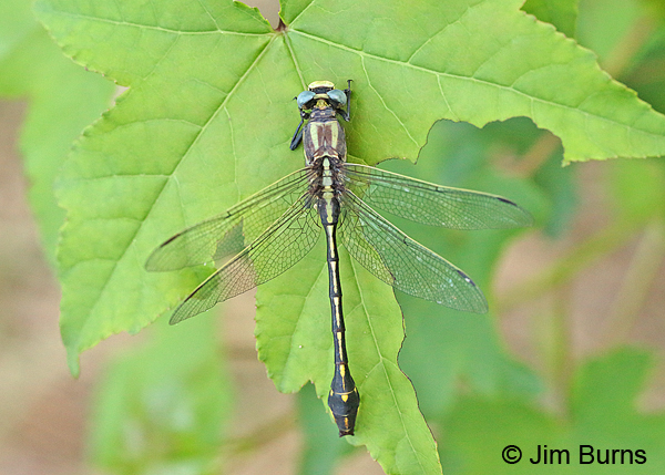 Ozark Clubtail male dorsal view, Montgomery Co., AR, May 2015