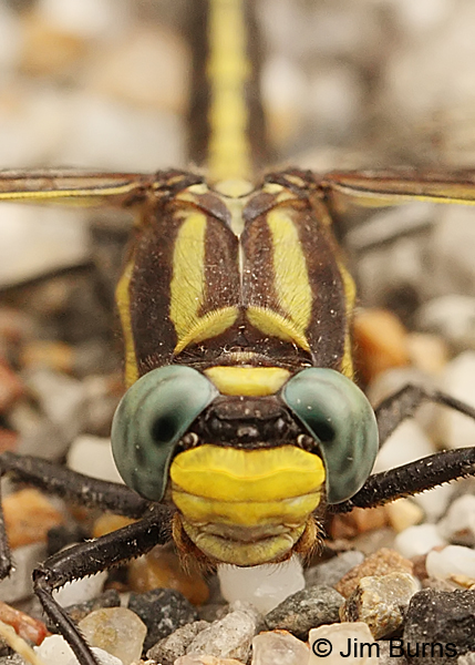 Ozark Clubtail male face shot, Montgomery Co., AR, May 2013