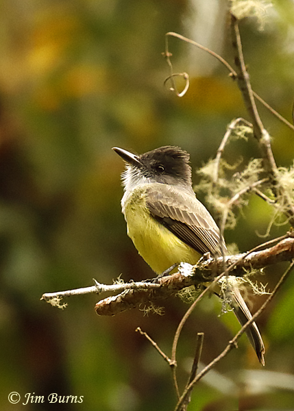 Dusky-capped Flycatcher--7052