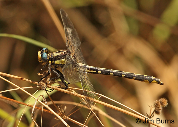 Pacific Clubtail female, Lane Co., OR, July 2013