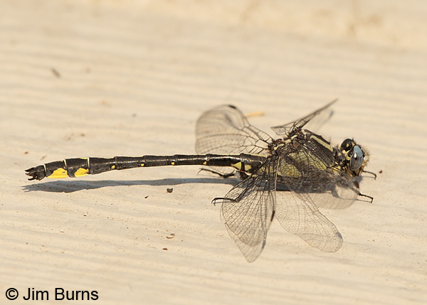 Pacific Clubtail male, Klamath Co., OR, July 2013