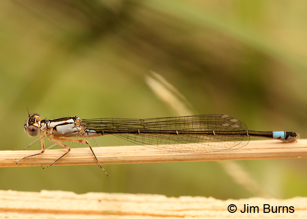 Pacific Forktail immature andromorph female, Santa Cruz Co., AZ, November 2011