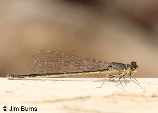 Pacific Forktail mature female, Klamath Co., OR, July 2013