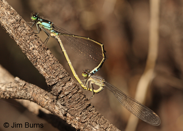 Pacific Forktail pair in wheel, Apache Co., AZ, June 2012