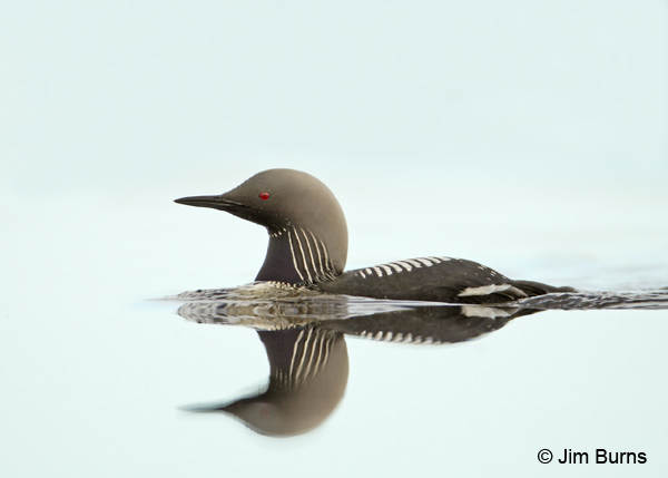 Pacific Loon breeding plumage