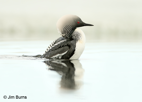 Pacific Loon shrug preening in water