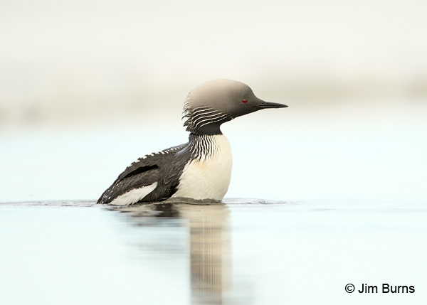 Pacific Loon with mousse