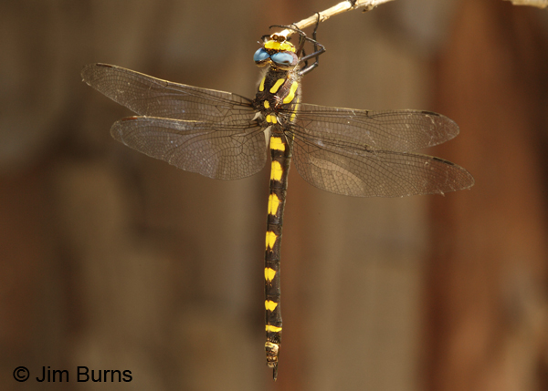 Pacific Spiketail female, Josephine Co., OR, June 2013