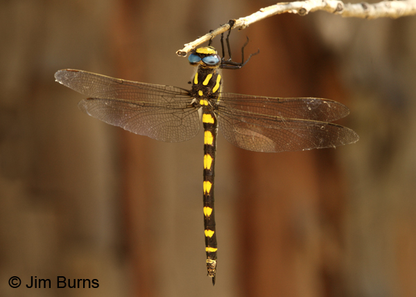 Pacific Spiketail female dorsal view, Josephine Co., OR, June 2013