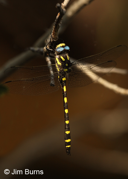 Pacific Spiketail male dorsolateral view, Jackson Co., OR, July 2013