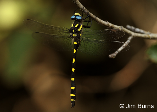 Pacific Spiketail male hanging up in shade, Jackson Co., OR, July 2013