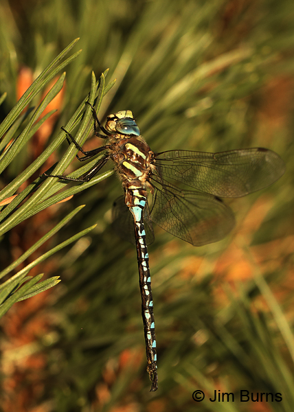 Paddle-tailed Darner male hanging in pine, Deschutes Co., OR, August 2015