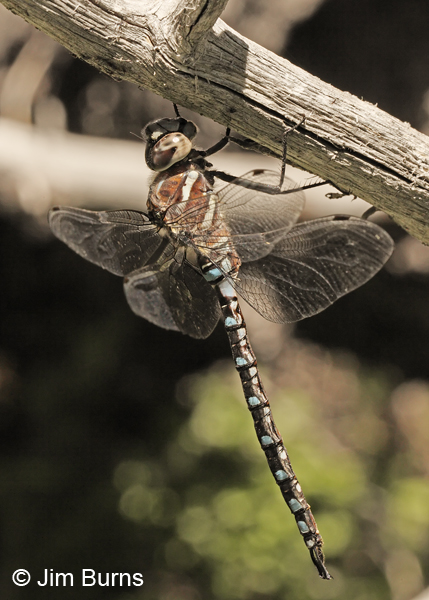 Paddle-tailed Darner male, Deschutes Co., OR, July 2013