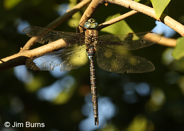 Paddle-tailed Darner male dorsal view, Klamath Co., OR, August 2015