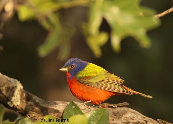 Painted Bunting male in greenery