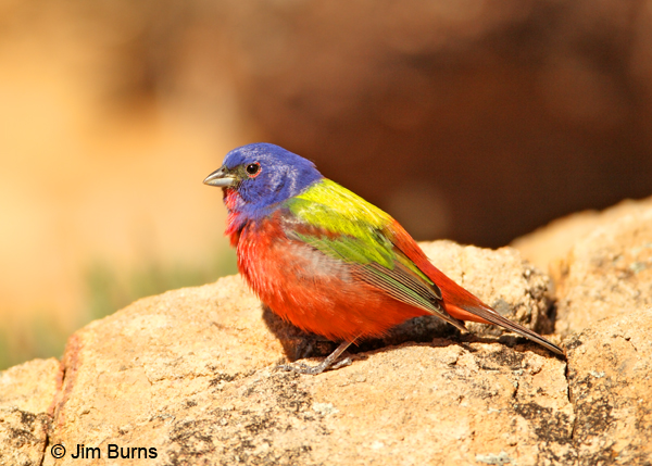 Painted Bunting male on rock