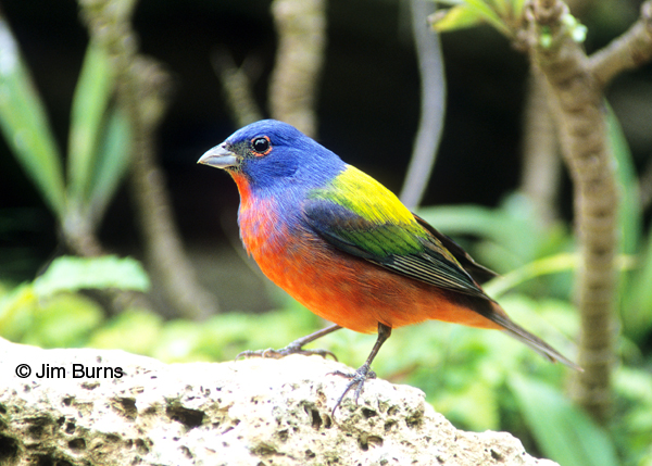 Painted Bunting male