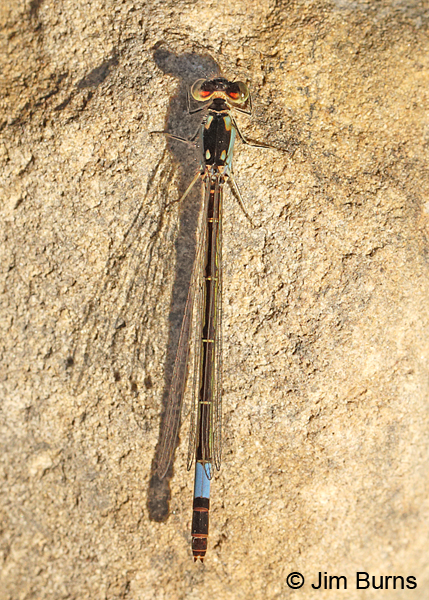 Painted Damsel female, Cochise Co., AZ, October 2014