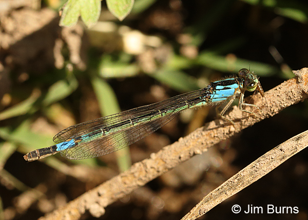 Painted Damsel mature female with small bug, Cochise Co., AZ, May 2015