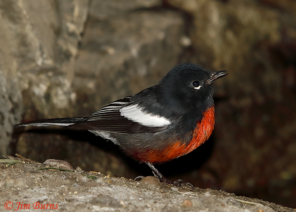 Painted Redstart--5935