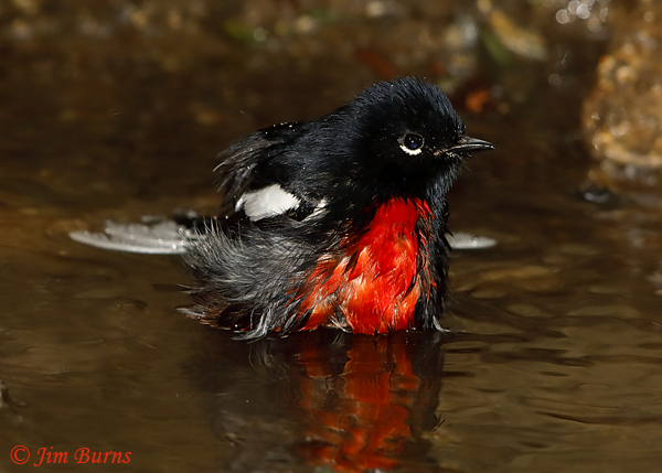 Painted Redstart bathing sequence #4--6141