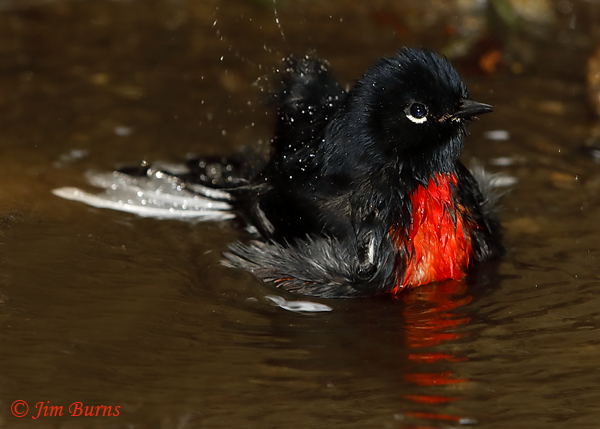 Painted Redstart bathing sequence #5--6143