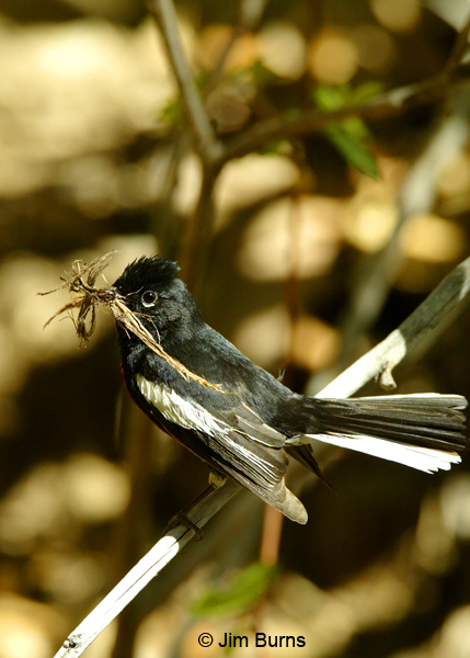 Painted Redstart with nesting material
