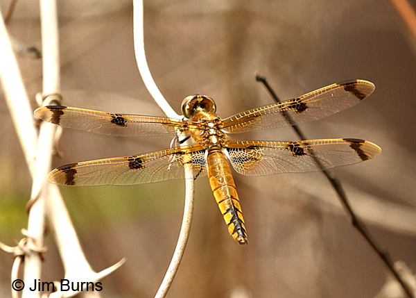 Painted Skimmer female, Baldwin Co., AL, March 2017.tif