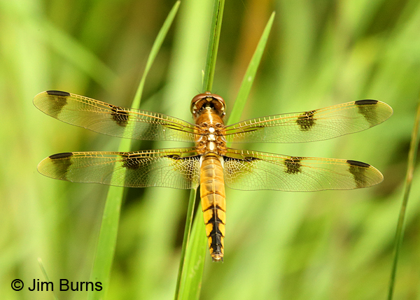 Painted Skimmer female dorsal view, Huntingdon Co., PA, June 2015