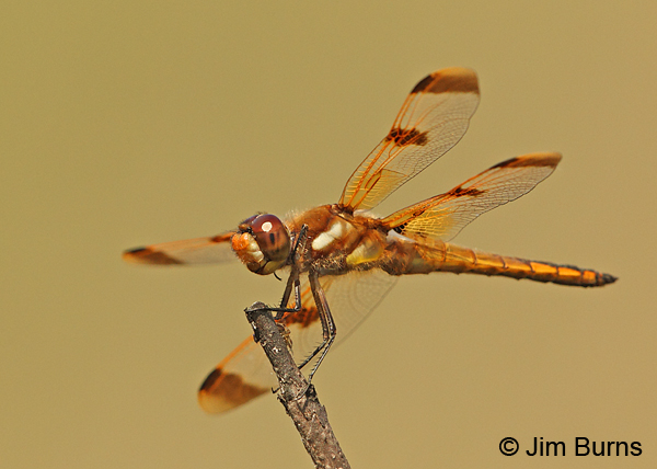 Painted Skimmer male, Chesterfield Co., SC, May 2014