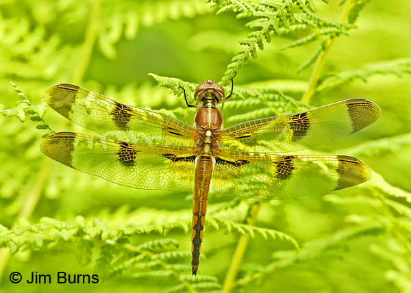 Painted Skimmer male, Huntingdon Co., PA, June 2015