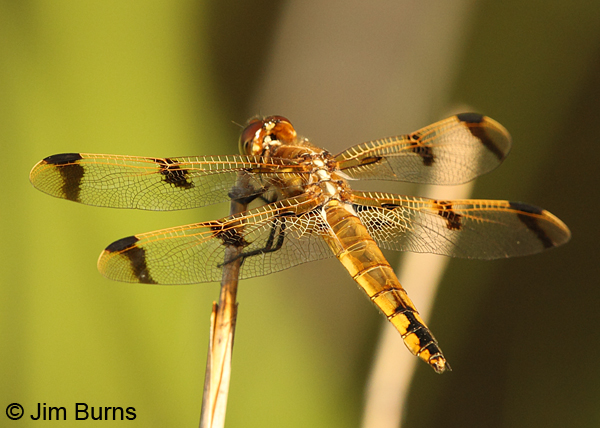 Painted Skimmer male dorsal view, Chesterfield Co., SC, May 2014
