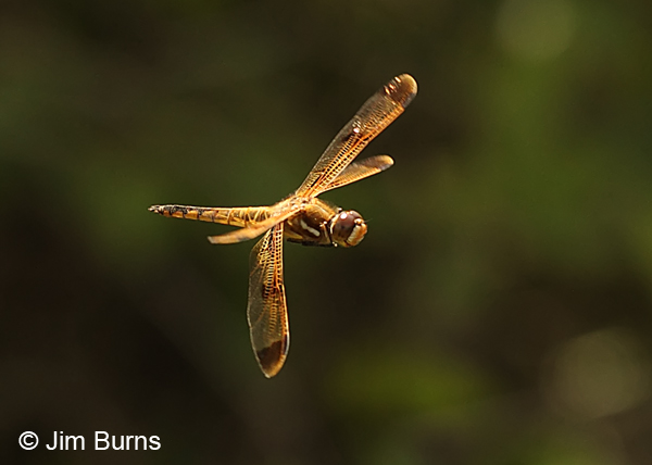 Painted Skimmer male in flight #2, Chesterfield Co., SC, May 2014