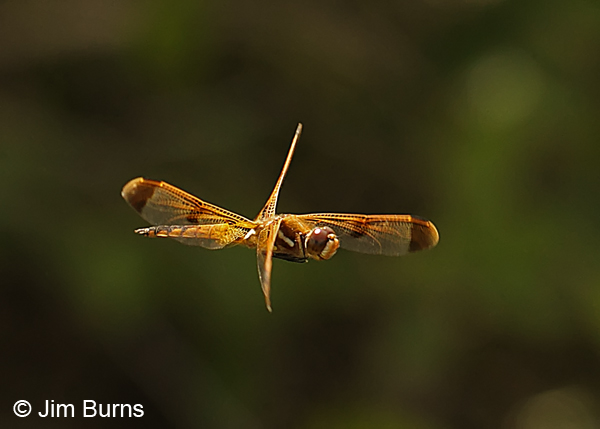 Painted Skimmer male in flight, Chesterfield Co., SC, May 2014