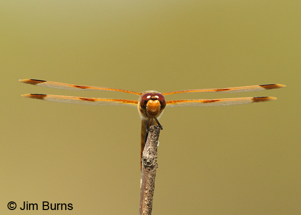 Painted Skimmer male parallel wings, Chesterfield Co., SC, May 2014
