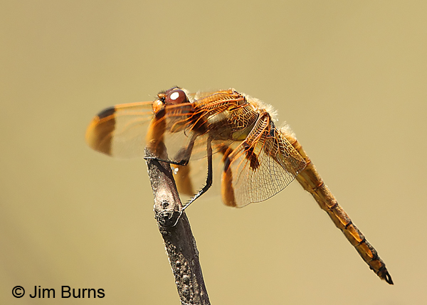 Painted Skimmer male wing spots, Chesterfield Co., SC, May 2014